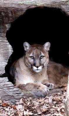 Cougar - Wild Felines