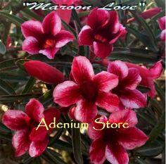 Adenium 'Maroon Love' 5 Seeds