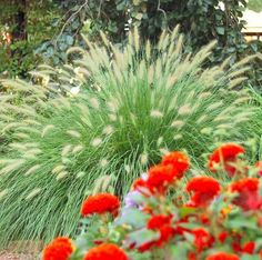 Fountaingrass, one of our favorites for Midwest gardens. Details + more ornamental grasses: http://www.midwestliving.com/garden/ideas/best-ornamental-grasses-for-midwest-gardens/page/1/0