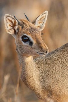 "Dik-Dik, Small Antelope found in Southwestern Africa, stands only 12-15 "" tall!"