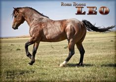 Roan Bones Leo MA - Quarter Horses for Sale & Working Ranch Horses Texas | MA Quarter Horses