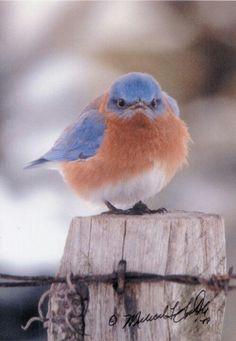 Fluffed bluebird