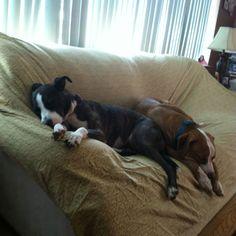 Lazy Pitbulls! <3