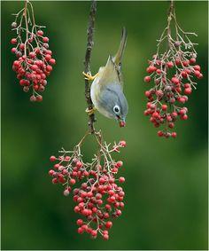 blue bird and berries