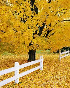 Autumn Gold By Alan L Graham