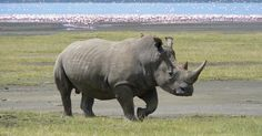 Explore why a group of travelers are trying to save rhinos from poachers in South Africa. With the help of Rhinos Without Borders, will they be successful?
