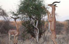 Le généruk Décrit pour la première fois en 1878  Ce mammifère, également appelé la gazelle-girafe ou gazelle de Waller, vit dans l'Est africain, soit la Tanzanie, le Kenya et l'Éthiopie, principalement. Cet herbivore pouvant vivre une douzaine d'années possède une grande capacité d'adaptation et peut survivre dans un environnement très sec. La perte de son habitat menace sa survie.