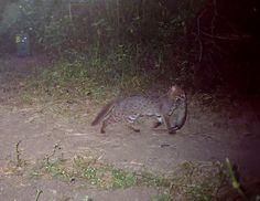 Rusty-spotted Cat, Maharashtra