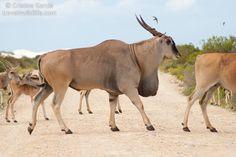 Eland antelope at De Hoop Woburn Safari Park, African Antelope, Wildlife Safari, Majestic Animals, Animal Facts, Wildlife Conservation, Sea World, Zoo Animals, Animals