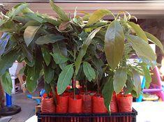 Amazon.com : Hass Avocado Tree, Grafted - Live Avocado Tree : Garden & Outdoor Buy Avocado Tree, Hass Avocado Tree, Avocado Plant, Avocado Types, Bountiful Garden, Trees Online, Sources Of Fiber, Garden Nursery, Harvest Season