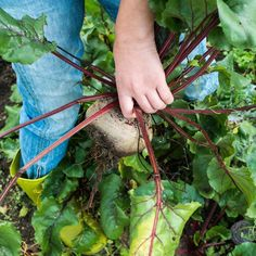 How to Prepare Beets: 5 Simple Ways to Cook Beets — Just Beet It Natural Blood Pressure, Lower Blood Pressure, Sauteed Beet Greens, Beet Kvass, Homemade Apple Cider, Probiotic Drinks, Smoothie Bowl, Smoothies, Fermented Foods