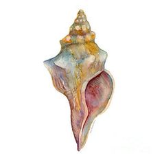 Watercolor Seashells Paintings - Horse Conch Shell  by Amy Kirkpatrick