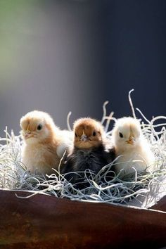 Our spring chicks will be here after St Patty's day...Can't wait!