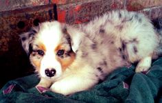 more pictures of our Aussies Australian Shepherds from WildWings