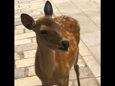 This was shot in Nara, Japan when my friends Jason and Lisa were visiting me and my girlfriend Kate. We noticed this lone deer making strange whining sounds . Cute Wild Animals, Funny Animals, Scream Meme, Funny Deer, Culture Day, Strange Noises, Aesthetic Japan, Oh Deer, Woodland Creatures