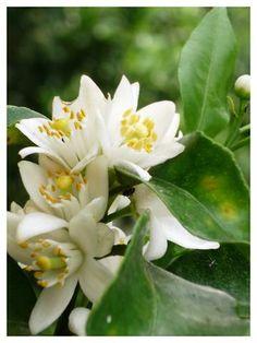 Flor de Laranjeira - princesa da perfeição