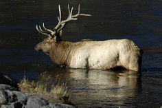 elk in the madison river.