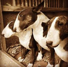 Fedemusqui's Bull Terriers