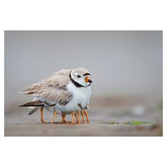 so cute.  A nine-legged Piping Plover?  This Piping Plover is providing warm cover for its chicks on Plum Island, Massachusetts.  Photo by Michael Milicia, published in National Geographic this month!