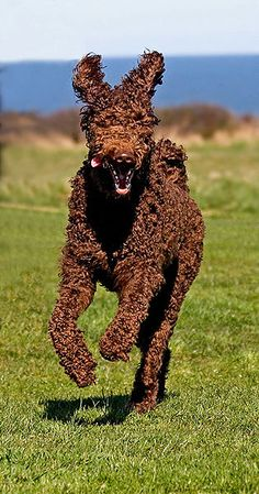 POODLE??? for real.....Brown Standard Poodle (Maisie, 22 months old, running at the coast at South Shields in March 2009)