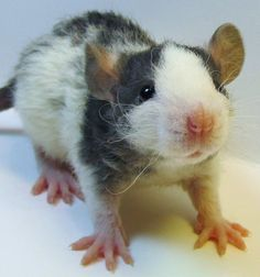 freeking adorable...love his kinky whiskers....baby from Topi Rats