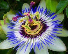 Fleur de fruit de la passion