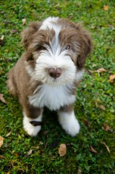 Bearded Collie puppy Brown Puppies, Cute Dogs And Puppies, Doggies, Huge Dogs, I Love Dogs, Bearded Collie Puppies, Dog Bearding, Collie Dog, Dachshund Love