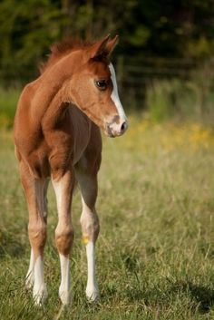 Cute little foal, such a sweet little horse. White blaze, white socks.