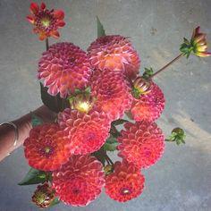 Dahlia 'Kingston'. fairest flowers farm: the dahlias