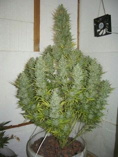 What a pretty cannabis plant