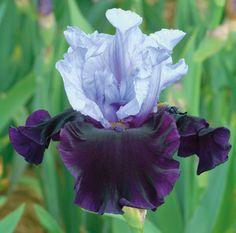 "Whale's Tale   Type: Tall Bearded (TB) Style: Bicolor Height: 32.0"" Color: Lavender nad Purple Originator: Schreiner Year: 2012 Bloom Season: Midseason late Fragrant: No Rebloom: No Whale's Tale | Tall Bearded"