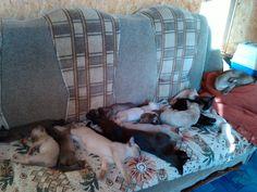 Отгадайте, сколько бурманских котят на диване? Guess how many kittens burmese on the couch? :)
