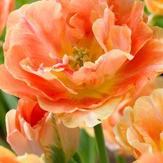 Kerrattu tulppaani Charming Beauty - Viherpeukalot