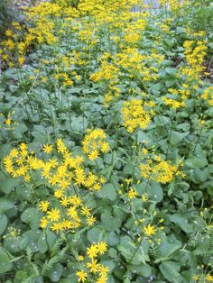 309 best new england four season landscaping images on pinterest in packera aurea golden groundsel native to all of new england this aster mightylinksfo
