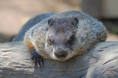 Bit of a chunky Groundhog/Woodchuck taking a nap in the sun. Take A Nap, Rodents, Wildlife Photography, Creatures, Wildlife Nature, Ontario, Shots, Animals, Sun