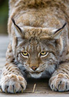 Lynx ~ wow