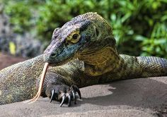 Rough Necked Monitor Photo by Alvaro Barrera — National Geographic Your Shot