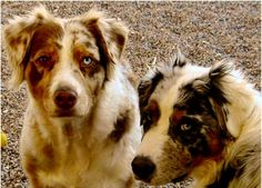 Google Image Result for http://longlivepuppies.com/PicturesDogs/Australian_Shepherd6.jpg