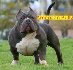 Blue Nose Pitbulls is one of the popular Pit breeds. Find out why the blue and red nose color occurs in other pitbull dog breeds. Enjoy reading our guide about this pitbull breed Big Dogs, I Love Dogs, Cute Dogs, Cãezinhos Bulldog, Pitbulls, Rottweilers, Dog Forum, Dog Breed Info, Bully Dog