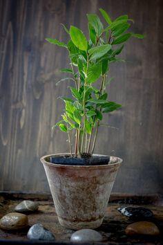 Cum să crești pe pervaz un dafin aromat, care îți va aduce sute de beneficii - Fasingur