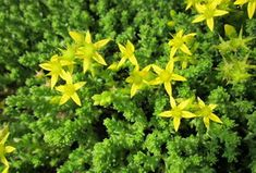 Learn how to plant, grow, and care for sedum flowers with this growing guide from The Old Farmer's Almanac. Sedum Plant, Old Farmers Almanac, Ground Cover Plants, Drought Tolerant, Succulents, Herbs, Landscape, Campanula, Google Search