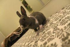 My netherland dwarf/ britannia petite mix rabbit Karma as 8weeks old :)