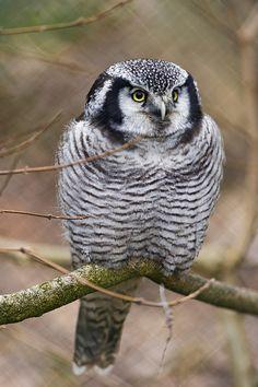 Source: Flickr / tambako  #northern hawk owl #hawk owl #owl #owls #bird #photo #photograph #photography