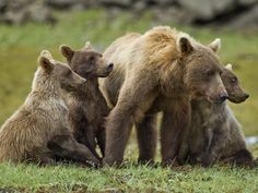 Grizzly Bear Sow Stands with Cubs Along Geographic Harbor, Katmai National Park, Alaska, USA
