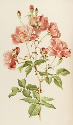 Alfred Parsons, illustration for the book The genus Rosa by Ellen Willmott 1914. Chromolithography. London. Via Ketterer