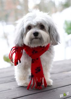 All About Havanese Puppy Website Source by alfiejamesavery The post Havanese Dogs Girls appeared first on Douglas Dog Hotel. Havanese Haircuts, Havanese Grooming, Puppy Grooming, Havanese Puppies, Cute Puppies, Dogs And Puppies, Goldendoodle, Animals And Pets, Baby Animals