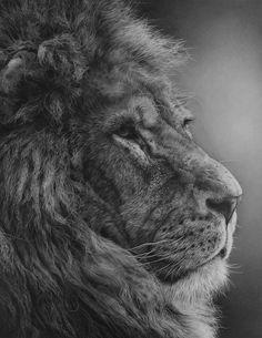 Julie Rhodes, original wildlife art, wildlife pencil drawings, wildlife prints, animal drawings, animal art, Marwell, NEWA, wildlife art exhibitions, willdife artists, Drawings of tigers, lions, zebras, penguins, cheetahs, orangutans, snow leopards, squirrels, foxes