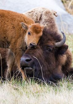 Buffalo & Calf - animals - Animal world Nature Animals, Animals And Pets, Farm Animals, Animal Bufalo, Buffalo Animal, Baby Buffalo, Beautiful Creatures, Animals Beautiful, Animals Tattoo