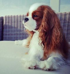 Find Out More On Playfull Cavalier King Charles Spaniel Temperament Love Pet, I Love Dogs, Cute Dogs, Cavalier King Charles Dog, King Charles Spaniel, Dressage, Baby Animals, Cute Animals, Animal Babies