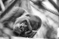 Sad Gorilla My Photos, Sad, Animals, Pictures, Animales, Animaux, Animal, Animais